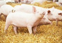 Załamanie cen na rynku trzody chlewnej
