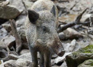Program mający na celu wczesne wykrycie afrykańskiego pomoru świń